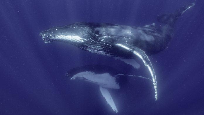 I Segreti delle Balene Disney+